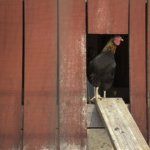 Plans For Chicken Coops – For Happy, Healthy, Productive Chickens